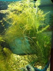 Junge Goldfische