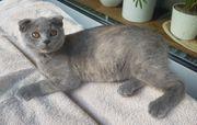 BKH Kitten Katze abgabebereit