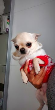 Typvoller Chihuahua Rüde in Creme