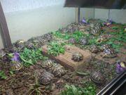 Verkaufe Landschildkröten Nachzucht