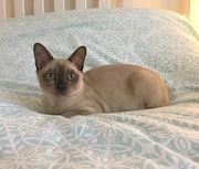 Burmses Kätzchen
