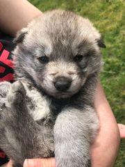 Tschechischer Wolfshund Kanadischer Schäferhund Welpen