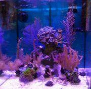 Meerwasseraquarium Ableger Gorgonia Ventalina 3