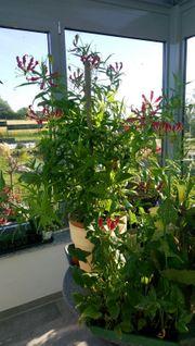 10 Stk Gloriosa Rothschildiana Rhizome