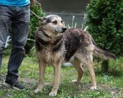 lieber kastrierter Schäferhund kam ins