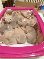 Reinrassige BHK Katzenbabys mit schtambaum