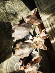2 candische Sphynx kitten suchen