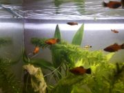 Platy Panda Aquarium Fische zu