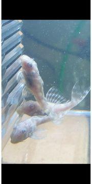 Wels L 333 Albino Wels