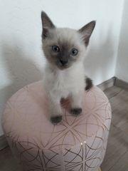 Ragdoll Kitten total verschmust abgabebereit