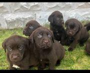 Kräftige Labradorwelpen