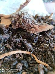 Heterometrus spinifer Nachzucht abzugeben