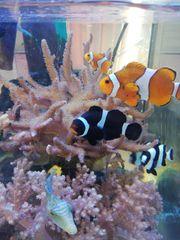 Anemonenfisch Paar