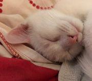 Mix Kitten Türkisch Angora