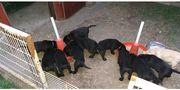 Reinrassige Labradorwelpen