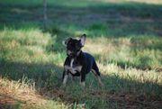 Französische Bulldog Welpen in black