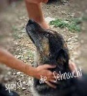 JOKER - wunderbarer Hunde-Opa sucht dringend