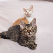 Maine Coon Mix Kitten Kater