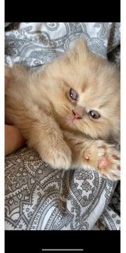 Britisch Kurzhaar Perser Mischling Babykatze