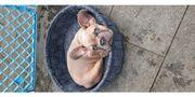 Französische Bulldogge Hündin Welpe isabella