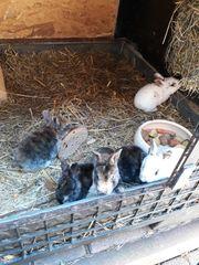 Junge Hasen Kaninchen Rexkaninchen abzugeben