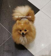 Zwergspitz Pomeranian Welpe 10 Monate