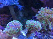 Koralle Euphyllia neon rose Hammerkoralle
