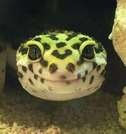 Leopardgecko Zucht