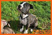 American Staffordshire Terrier - reinrassig - 3