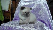 BKH Kitten- Katzenbaby in Seal