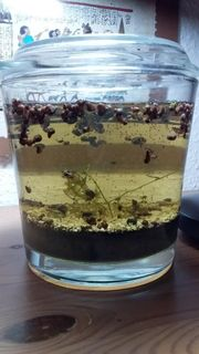 Futterschnecken gegen Aquariumpflanzen zu tauschen