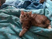 Miau Lotti Maine Coon Kätzchen