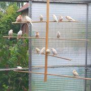 Kanarienvögel Rot-Mosaik