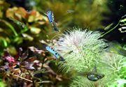 Japan Blue Endler Guppy reinerbig