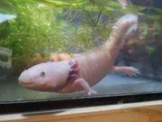 Drei Axolotl