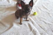 Reinrassige Mini Chihuahua Welpe