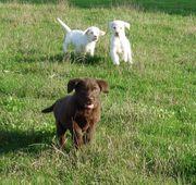 Labrador Welpen schoko chocolate braun