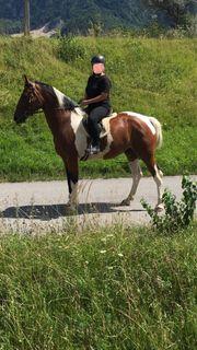 Pferd Warmblut Großpferd
