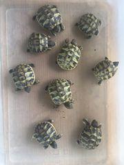 Griechische Landschildkröten NZ 2018 17