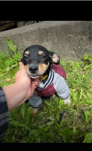 AB SOFORT Welpe Chihuahua pincher