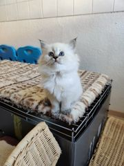 Newa Masquarade Kitten