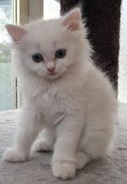 Ragdoll BKH Mix Kitten
