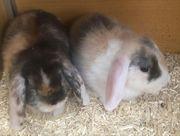 Kaninchen Zwergkaninchen Widder Zwergwidder mehrere
