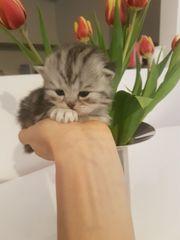 Scottish-Fold Kätzchen kleine Zwerge zum