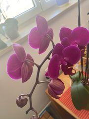 Orchideen Phalaenopsis