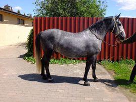 Lipizzanerwallach Silver: Kleinanzeigen aus Buttstädt - Rubrik Pferde