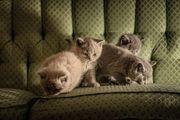 BKh Kitten - letzte 2 Kattern
