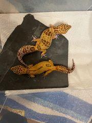4 Leopardgeckos mit Terrarium