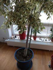 Ficus Baum