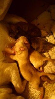 Chihuahua Wurf vom 9 Juli